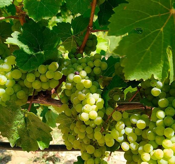 Bodega Pirineos incorpora a su vendimia la uva Riesling