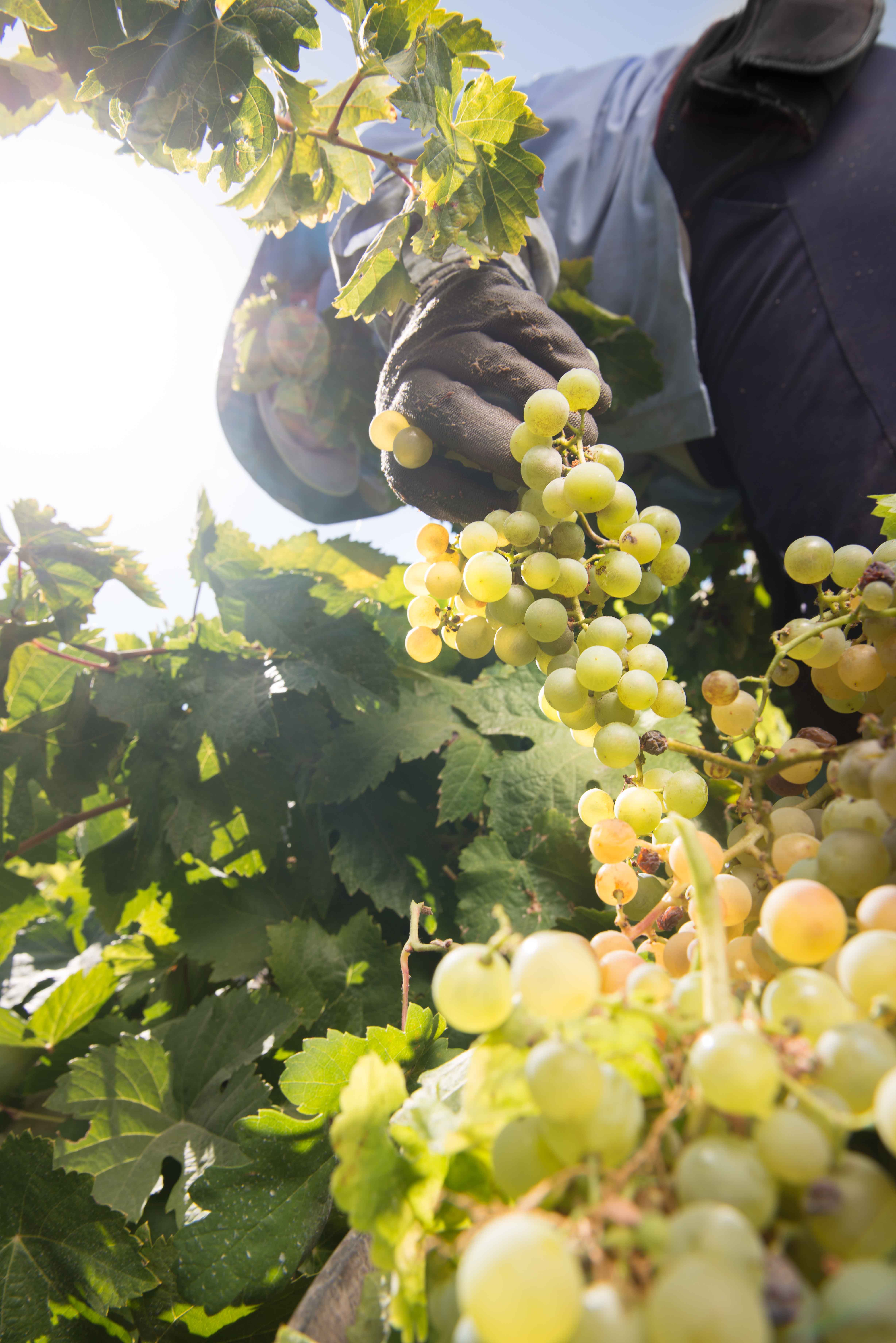 Bodegas Barbadillo prevé recolectar 8.100.000 kilos de uva de todas sus  variedades