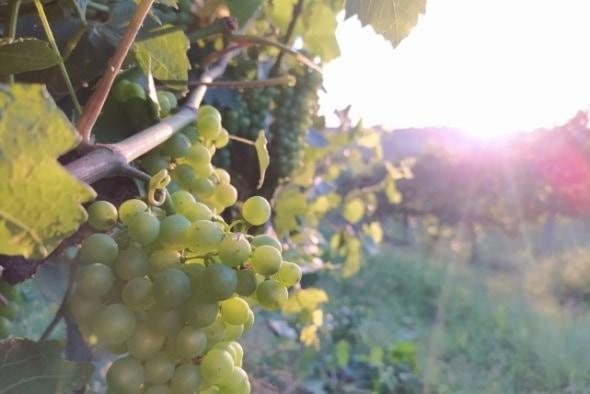 Bodega Pirineos comienza la vendimia 2021 de sus variedades blancas Pirineos Chardonnay y Pirineos Gewürztraminer